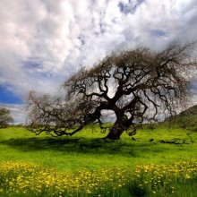 oak tree with hill